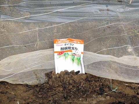 小玉スイカとタカノツメの苗植え付け、ダイコン種まきⅡ_c0014967_1092661.jpg