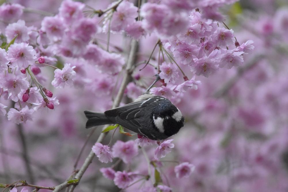 桜にヒガラ_f0053272_20221129.jpg
