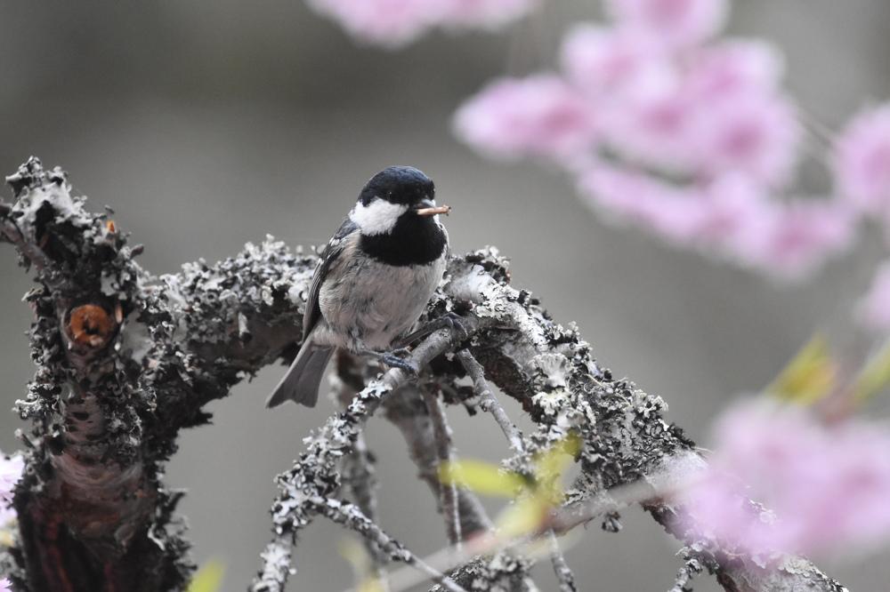 桜にヒガラ_f0053272_20235681.jpg