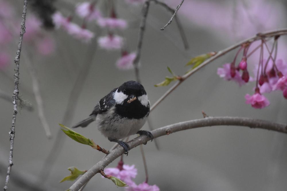 桜にヒガラ_f0053272_20241163.jpg