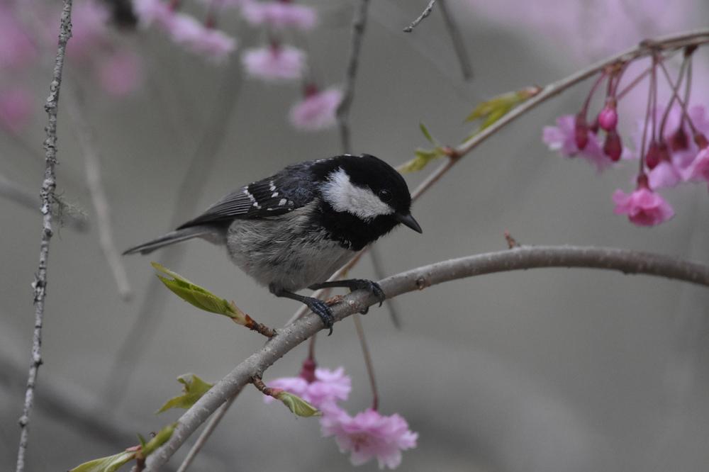 桜にヒガラ_f0053272_20243779.jpg