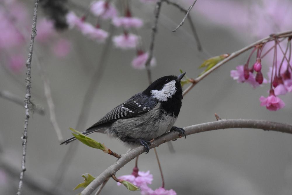 桜にヒガラ_f0053272_20244964.jpg