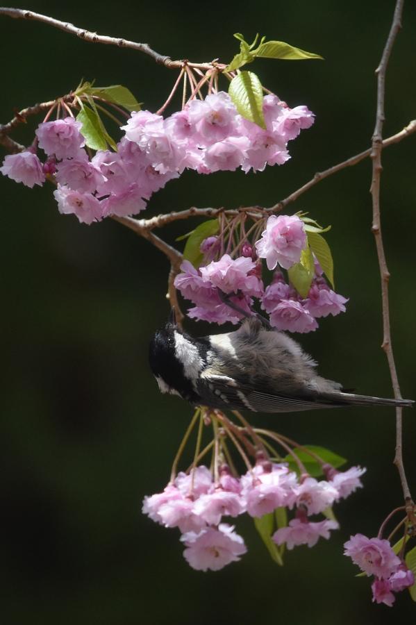 桜にヒガラ_f0053272_22202364.jpg