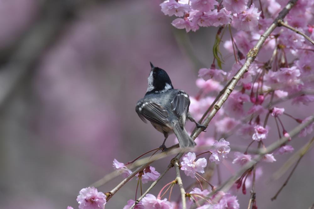 桜にヒガラ_f0053272_22425151.jpg