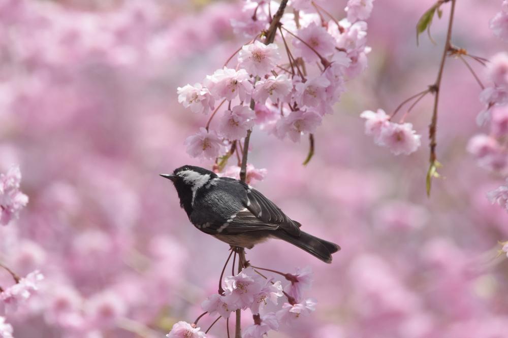 桜にヒガラ_f0053272_2243953.jpg