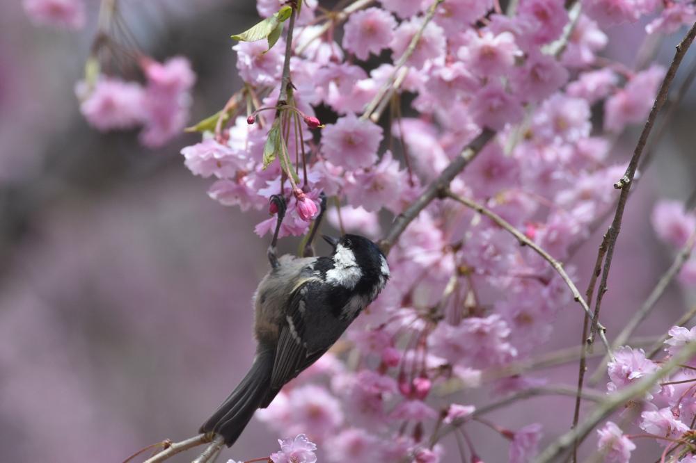 桜にヒガラ_f0053272_22442180.jpg