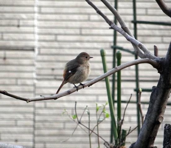庭のお客様は、ジョウビタキの女の子_a0136293_19474921.jpg