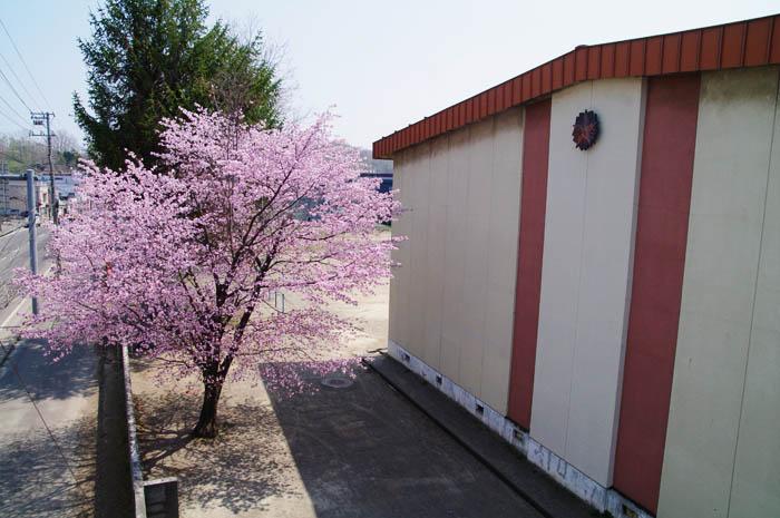 小樽桜めぐり 2015 #3_b0103798_21282352.jpg