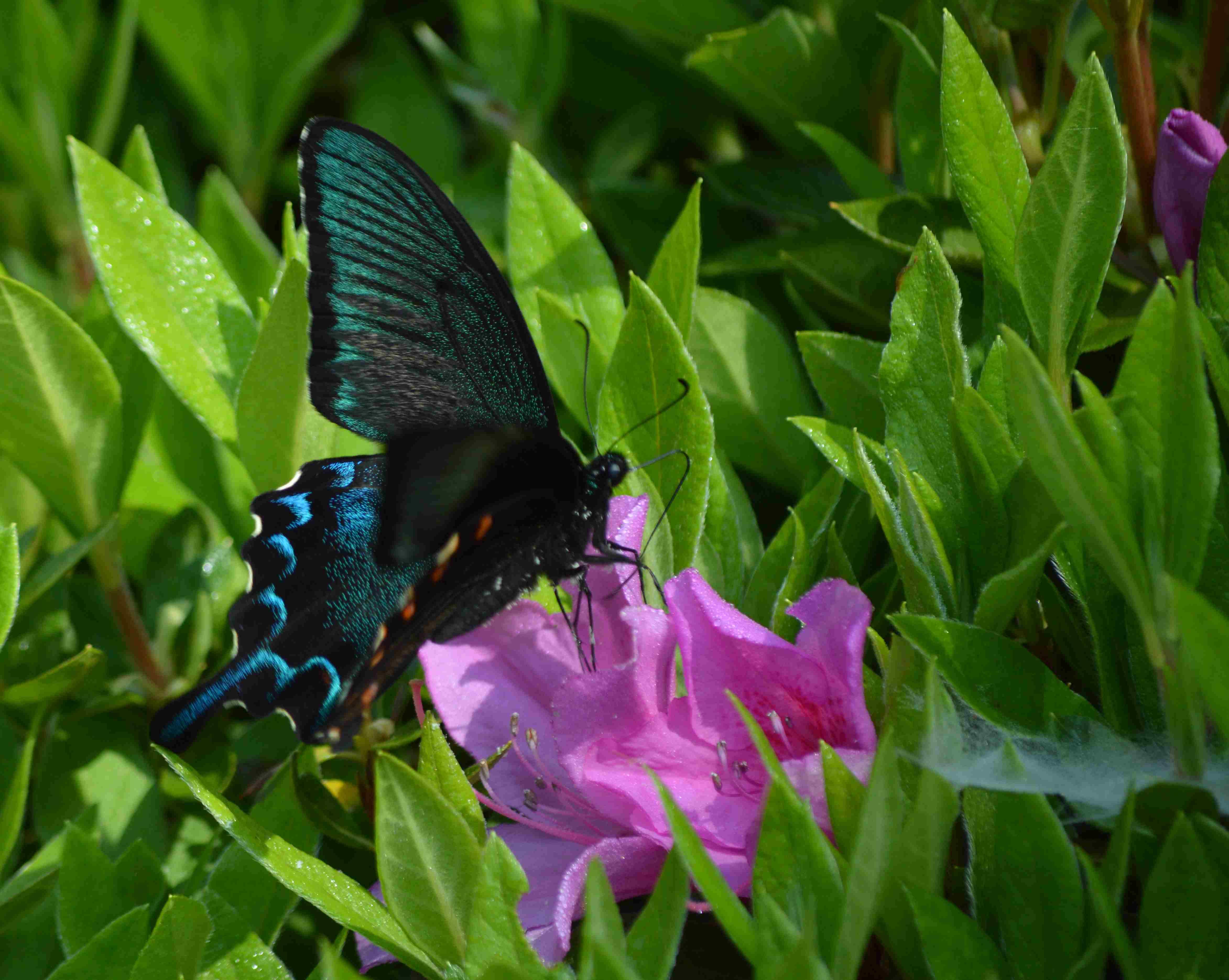 カラスアゲハ 5月2日ツツジの咲く公園にて_d0254540_15413786.jpg