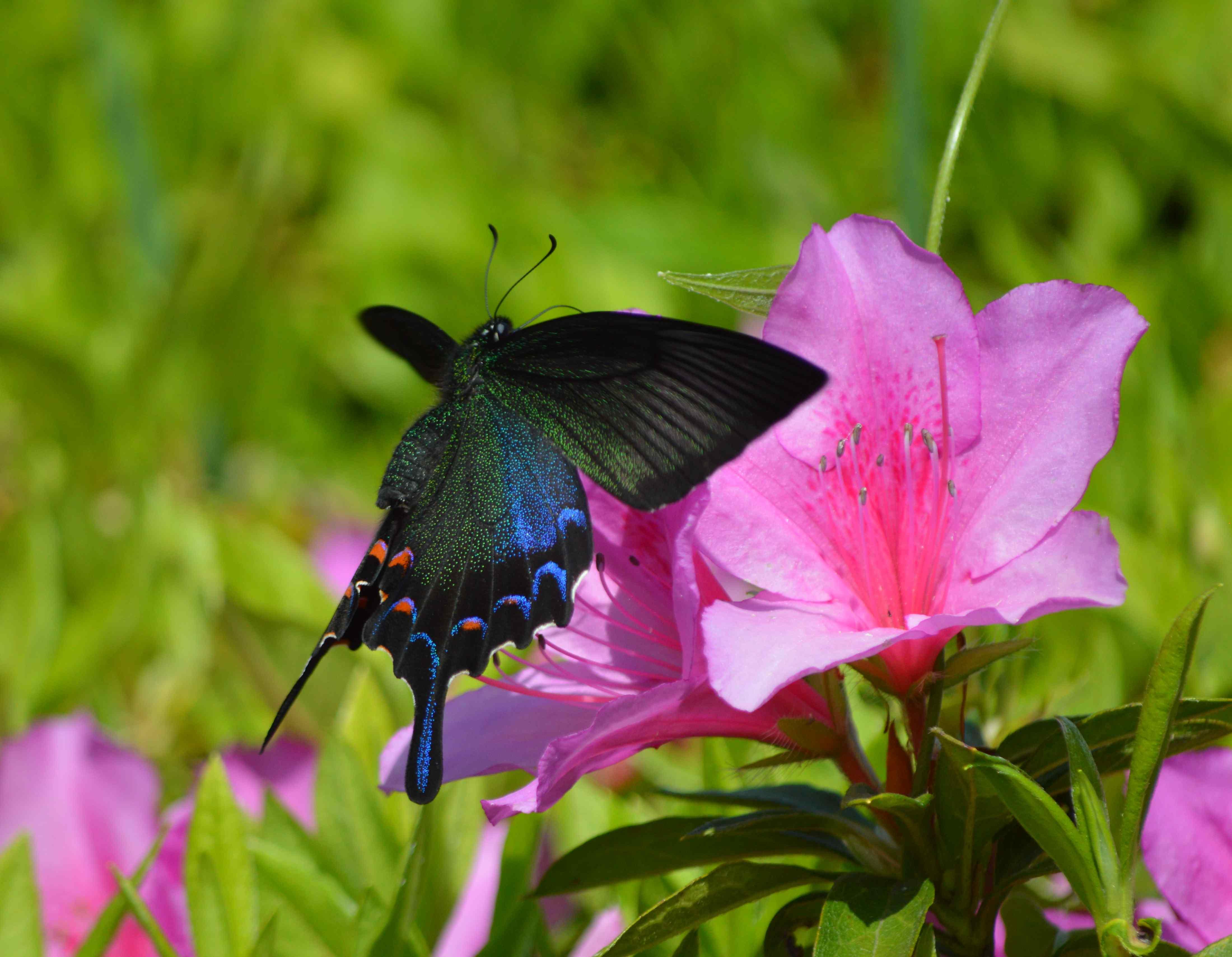 カラスアゲハ 5月2日ツツジの咲く公園にて_d0254540_15425189.jpg