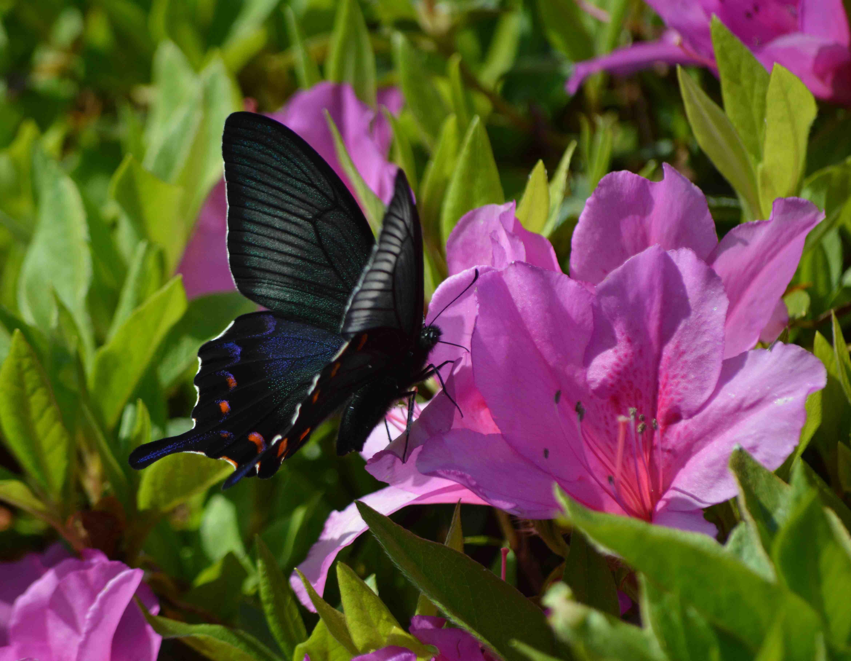 カラスアゲハ 5月2日ツツジの咲く公園にて_d0254540_15431727.jpg