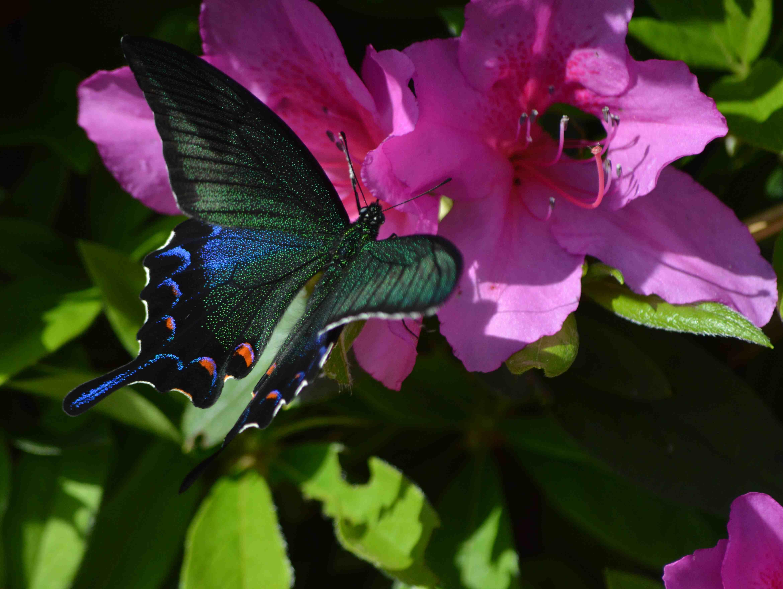 カラスアゲハ 5月2日ツツジの咲く公園にて_d0254540_1543772.jpg