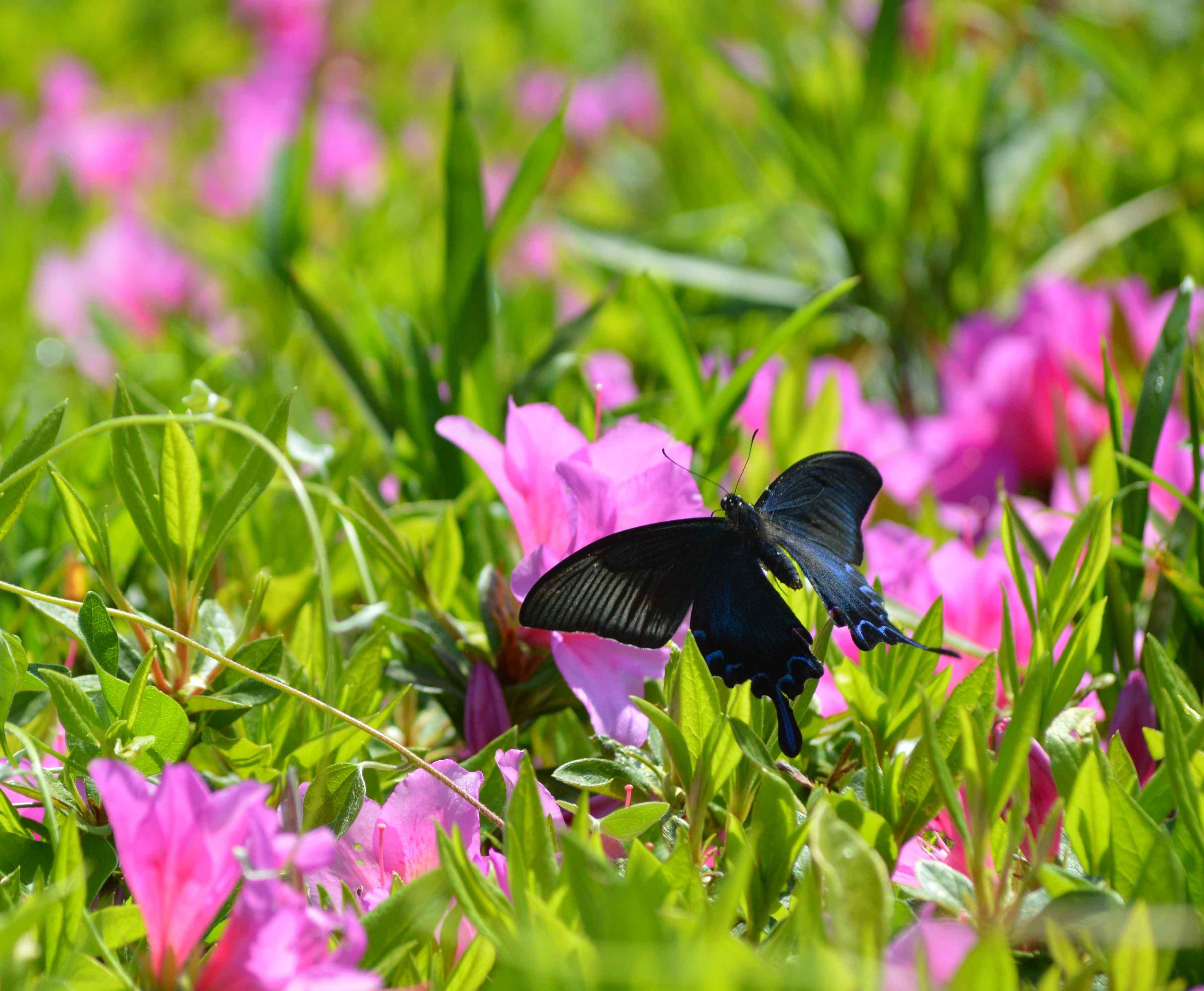 カラスアゲハ 5月2日ツツジの咲く公園にて_d0254540_15443818.jpg