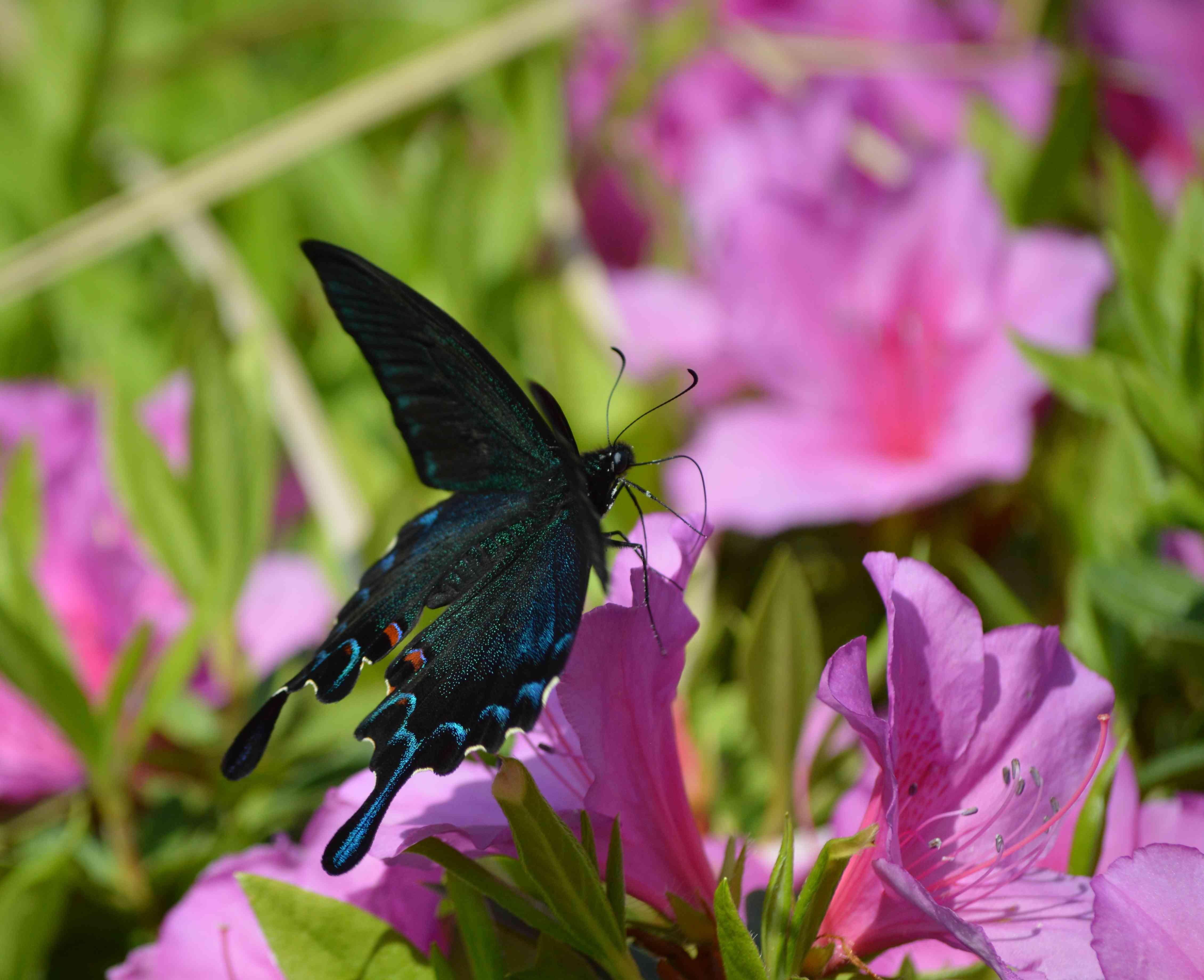 カラスアゲハ 5月2日ツツジの咲く公園にて_d0254540_1545788.jpg