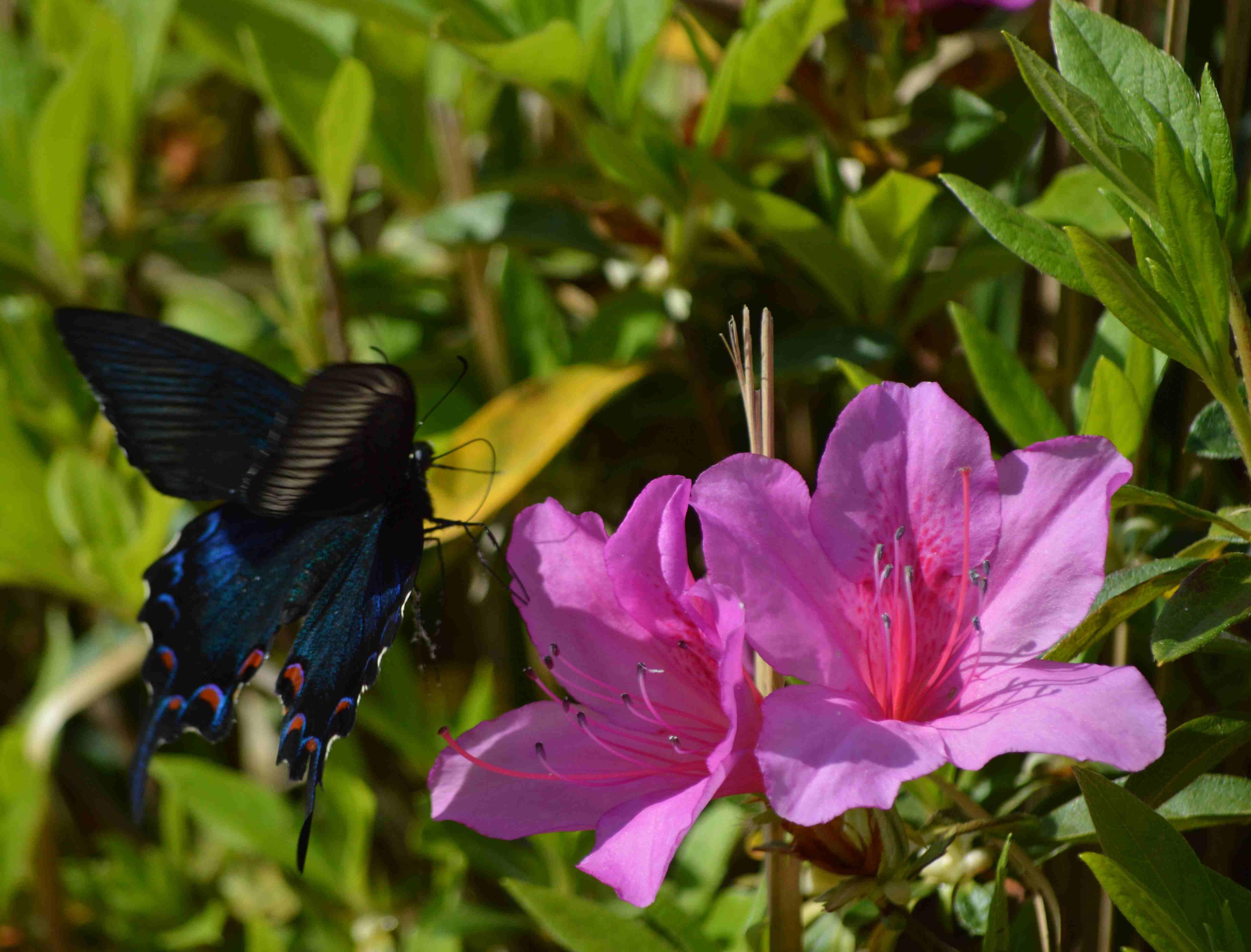 カラスアゲハ 5月2日ツツジの咲く公園にて_d0254540_1546404.jpg