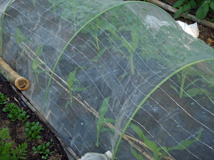 トウモロコシの間引きはつらい選択(5・1)_c0014967_12265427.jpg