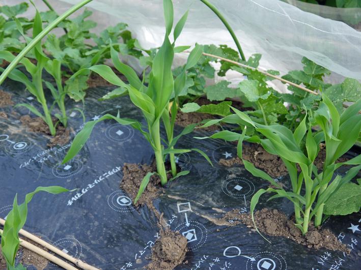 トウモロコシの間引きはつらい選択(5・1)_c0014967_12273464.jpg