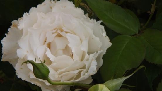 薔薇の始まり_b0214473_13105024.jpg