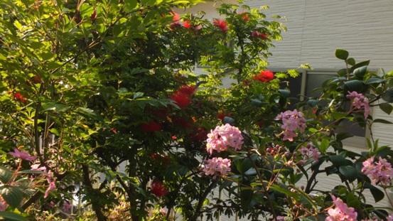 薔薇の始まり_b0214473_1312267.jpg