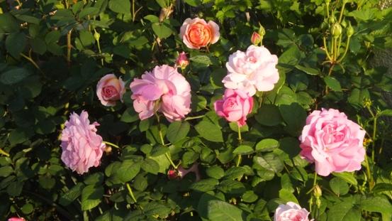 薔薇の始まり_b0214473_1383640.jpg