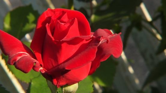 薔薇の始まり_b0214473_1391145.jpg