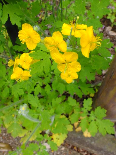 4月30日 昭和薬科大学・薬用植物園など見て歩き_e0145782_11405722.jpg