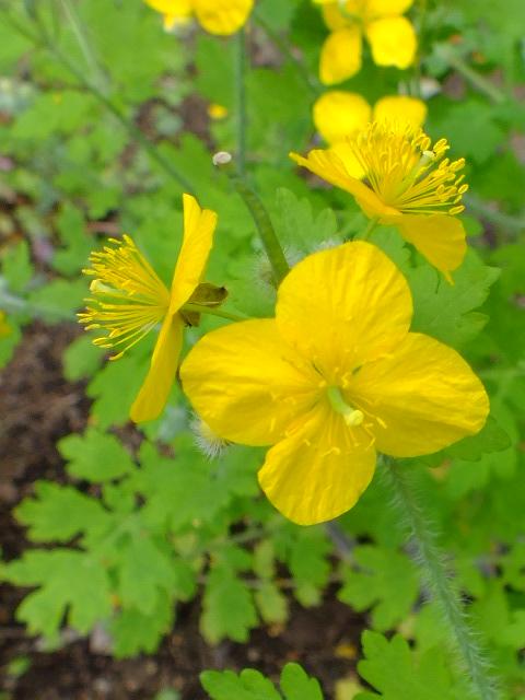 4月30日 昭和薬科大学・薬用植物園など見て歩き_e0145782_11413486.jpg