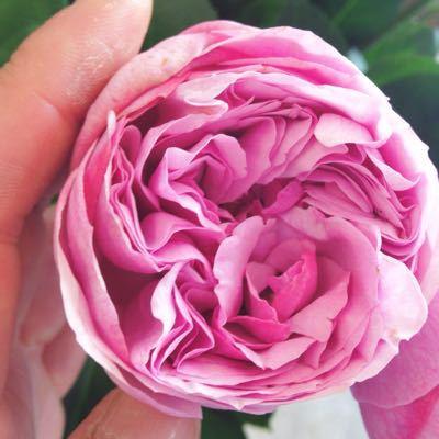 バラに魔法をかけてます…_a0115684_14541239.jpg