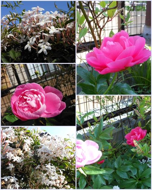 芍薬や羽衣ジヤスミンが咲き始めています。_b0096584_1144064.jpg