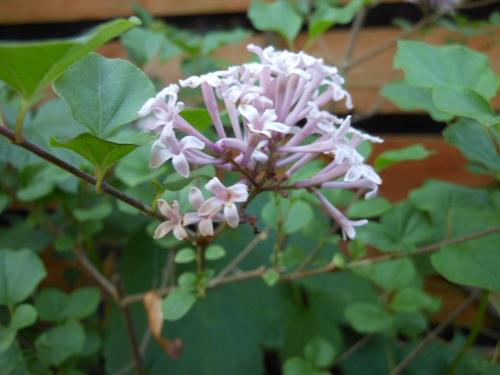 芍薬や羽衣ジヤスミンが咲き始めています。_b0096584_11444044.jpg