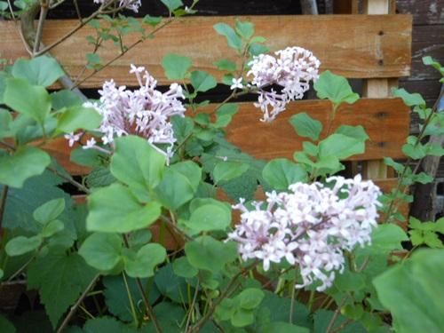 芍薬や羽衣ジヤスミンが咲き始めています。_b0096584_11445953.jpg