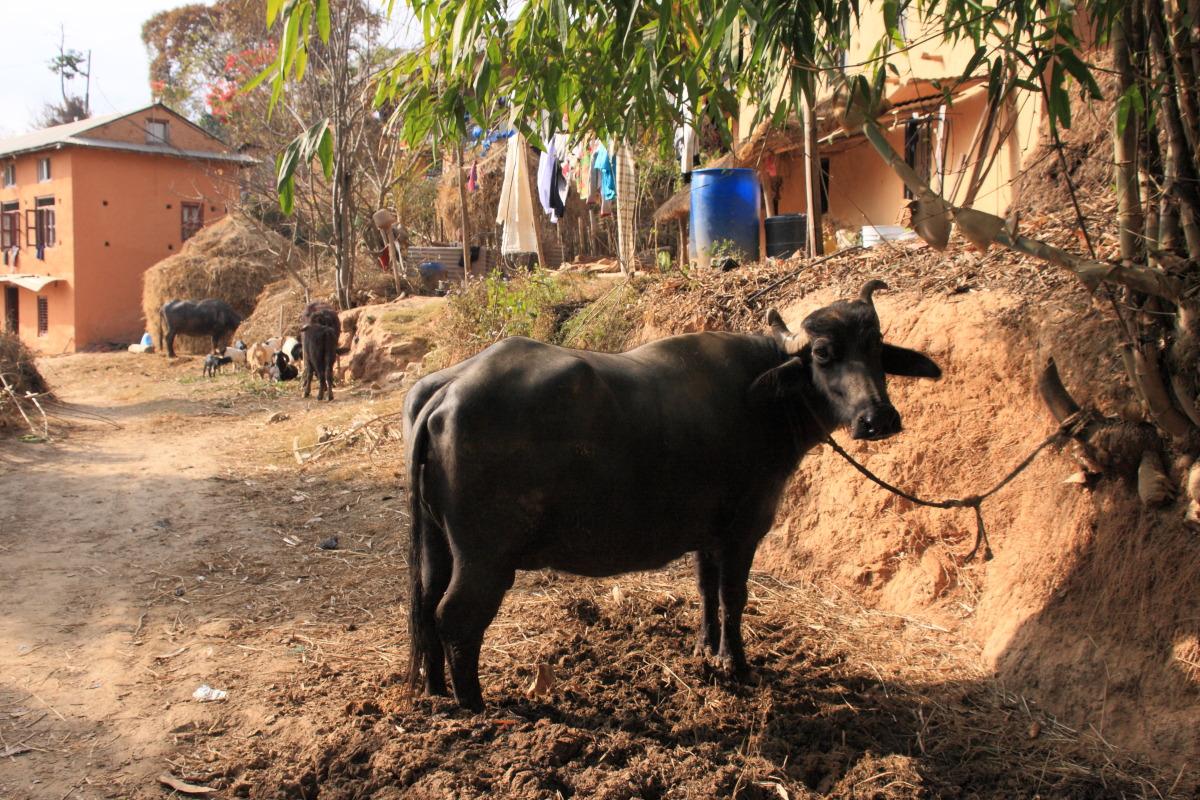 チャングナラヤン~ナガルコット  街道沿いの動物たち_b0061717_9161776.jpg