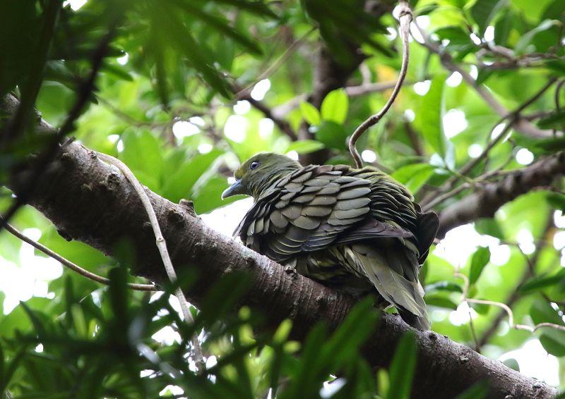 ズアカアオバトは、留鳥として屋久島以南の南西諸島に分布_b0346933_12381062.jpg