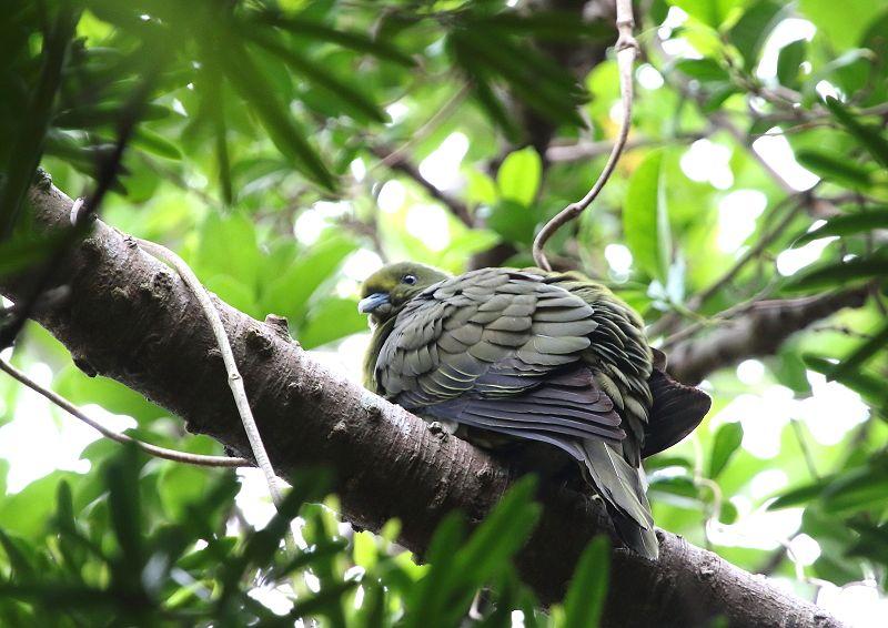 ズアカアオバトは、留鳥として屋久島以南の南西諸島に分布_b0346933_12381822.jpg