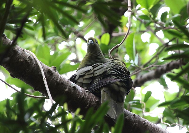 ズアカアオバトは、留鳥として屋久島以南の南西諸島に分布_b0346933_1238273.jpg