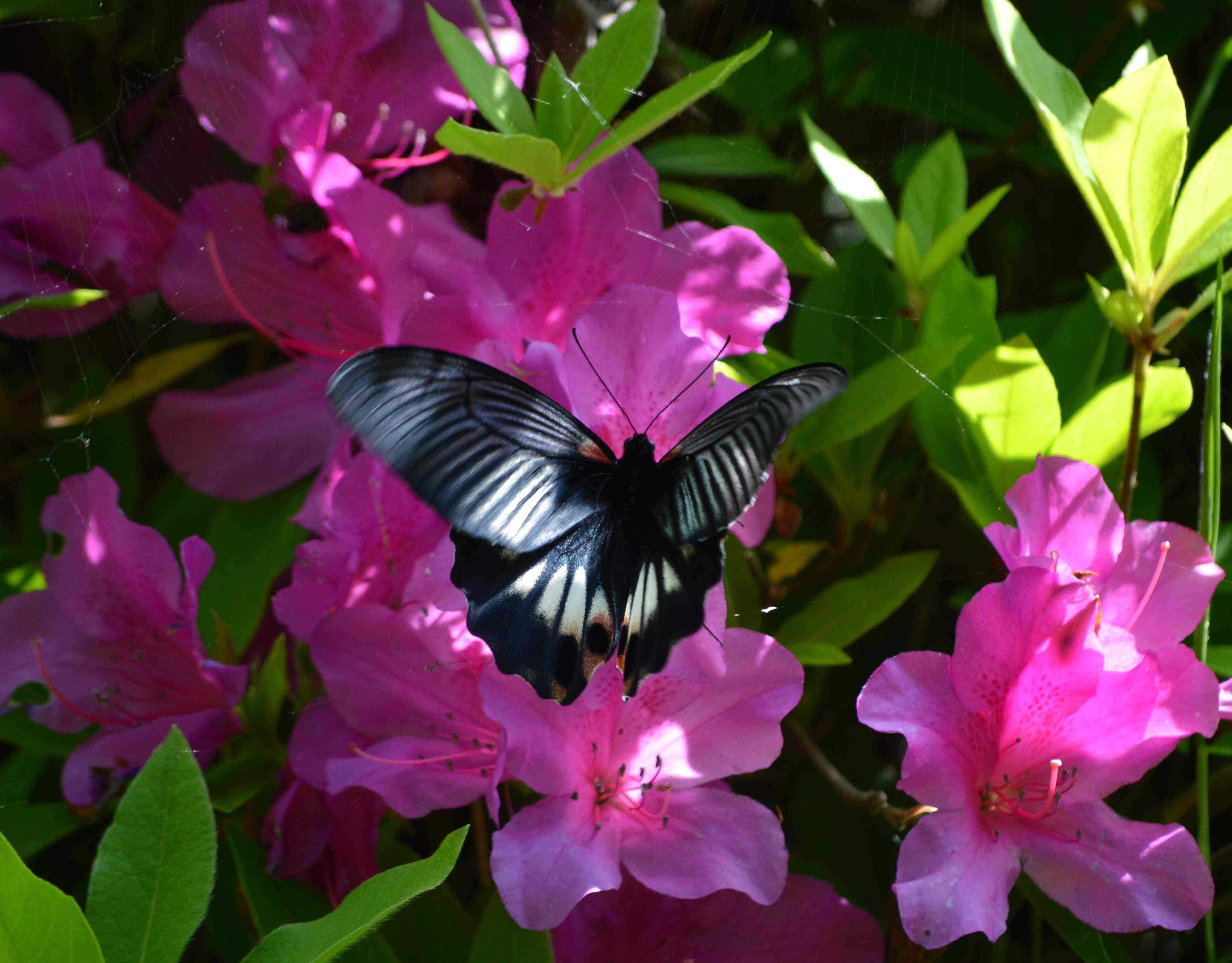 ナガサキアゲハ 5月2日ツツジの咲く公園にて_d0254540_345597.jpg