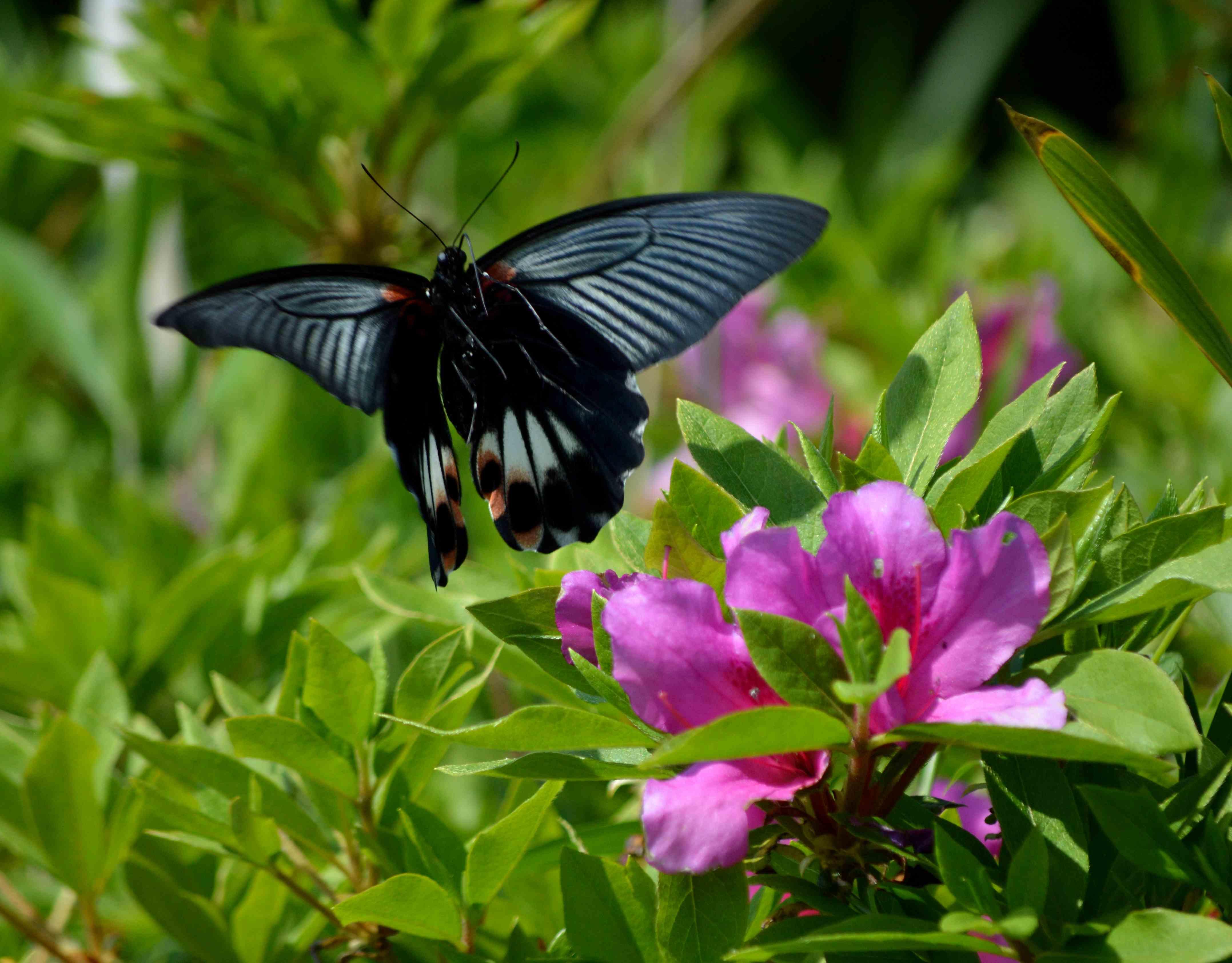 ナガサキアゲハ 5月2日ツツジの咲く公園にて_d0254540_3461569.jpg