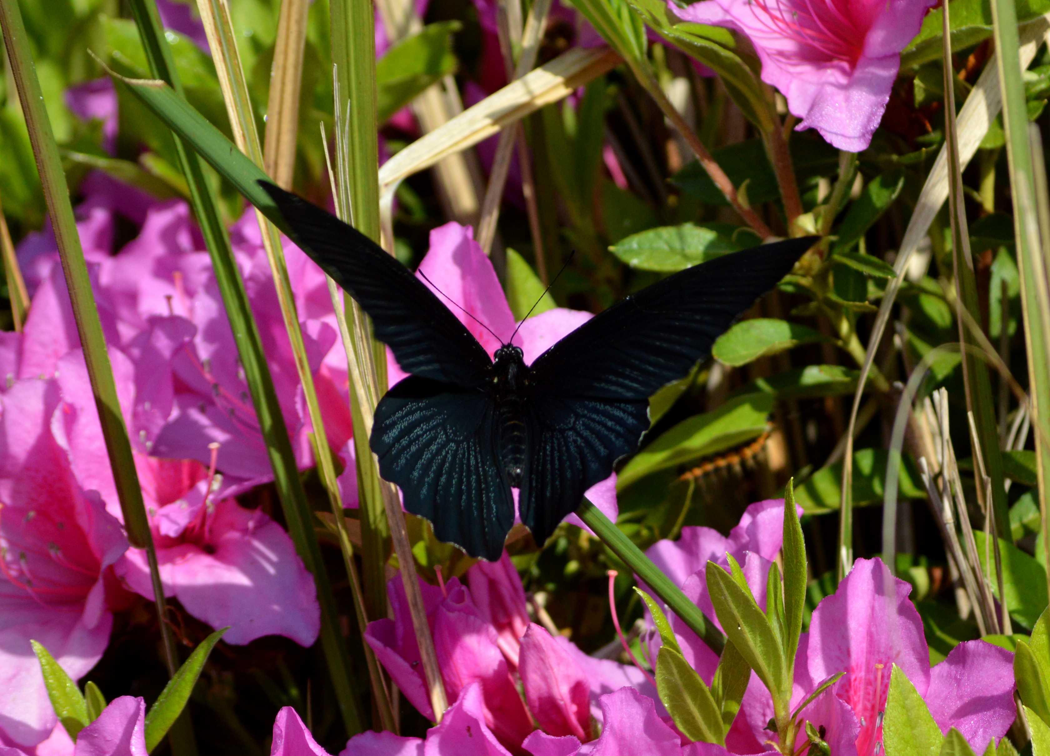 ナガサキアゲハ 5月2日ツツジの咲く公園にて_d0254540_3501145.jpg
