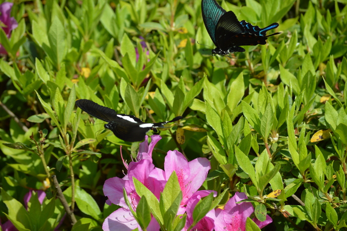 モンキアゲハ 5月2日ツツジの咲く公園にて_d0254540_4105046.jpg