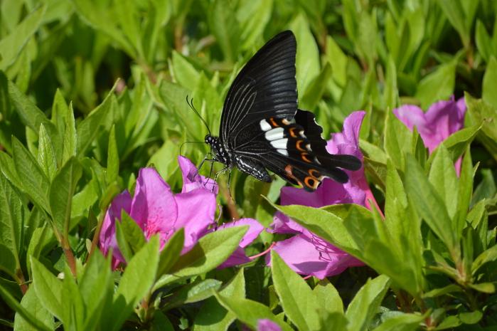 モンキアゲハ 5月2日ツツジの咲く公園にて_d0254540_4123437.jpg