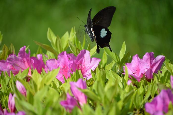 モンキアゲハ 5月2日ツツジの咲く公園にて_d0254540_4133456.jpg