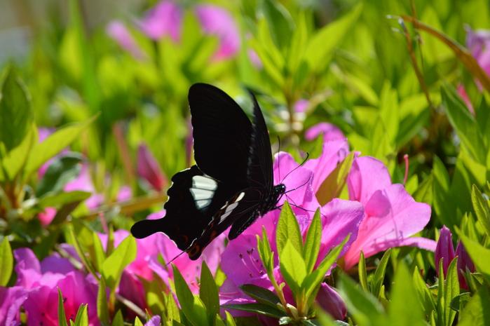 モンキアゲハ 5月2日ツツジの咲く公園にて_d0254540_4135492.jpg