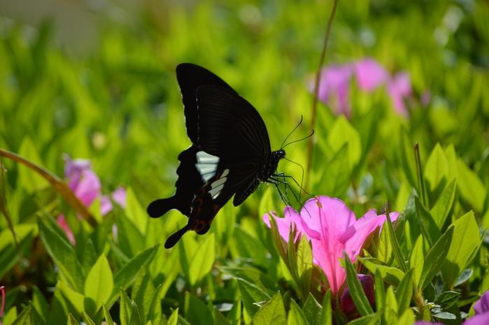 モンキアゲハ 5月2日ツツジの咲く公園にて_d0254540_4154910.jpg