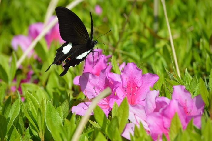 モンキアゲハ 5月2日ツツジの咲く公園にて_d0254540_463971.jpg