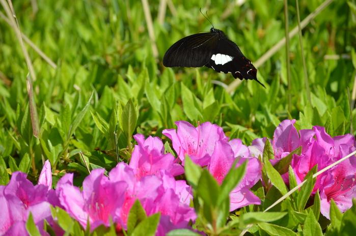 モンキアゲハ 5月2日ツツジの咲く公園にて_d0254540_47679.jpg