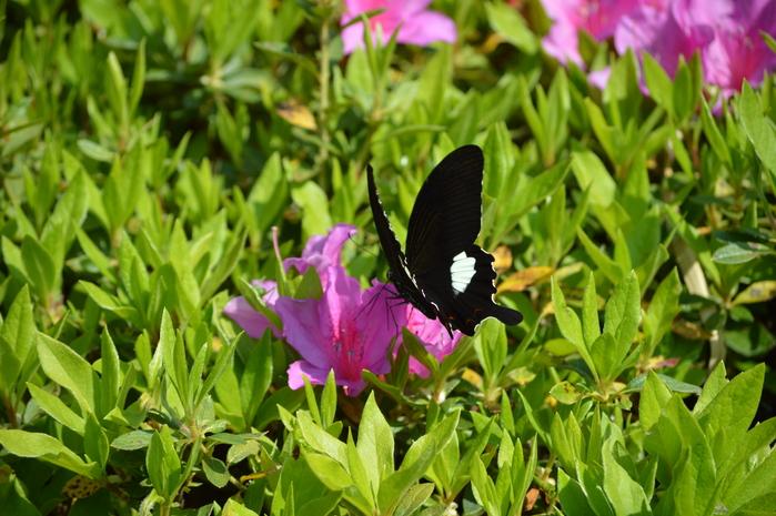 モンキアゲハ 5月2日ツツジの咲く公園にて_d0254540_495552.jpg