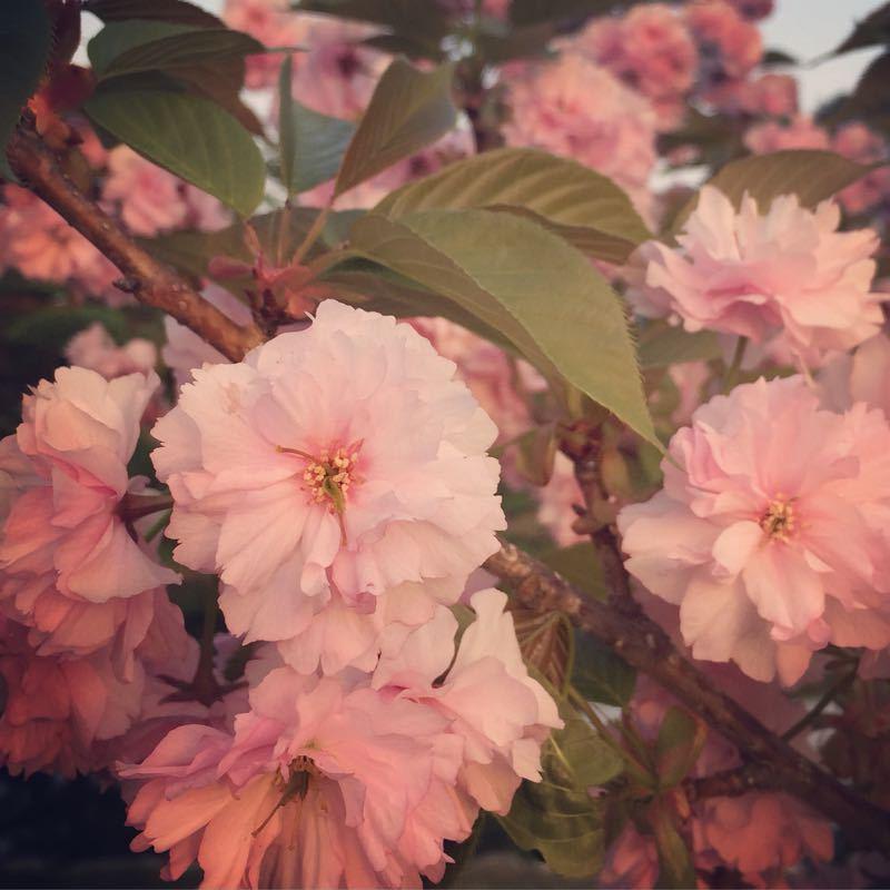 平和と繁栄と八重桜〜憲法記念日に〜_b0199244_2383811.jpg
