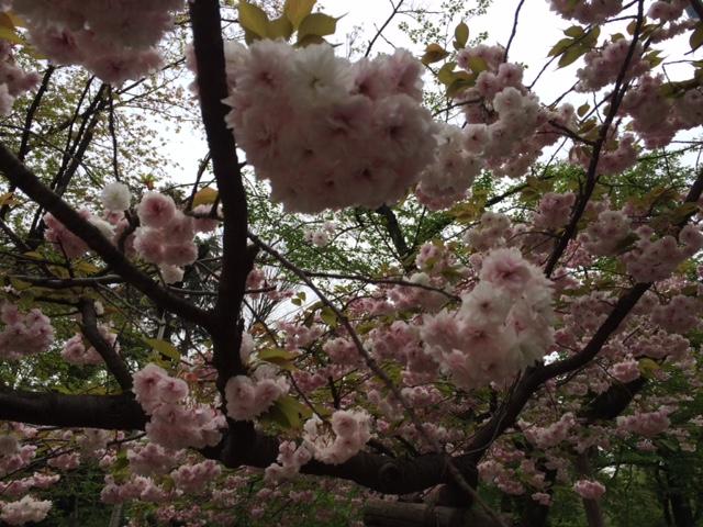 2015年の桜(14)_b0129897_17214549.jpg