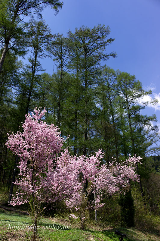 お寺の桜(1)_d0108132_19244684.jpg