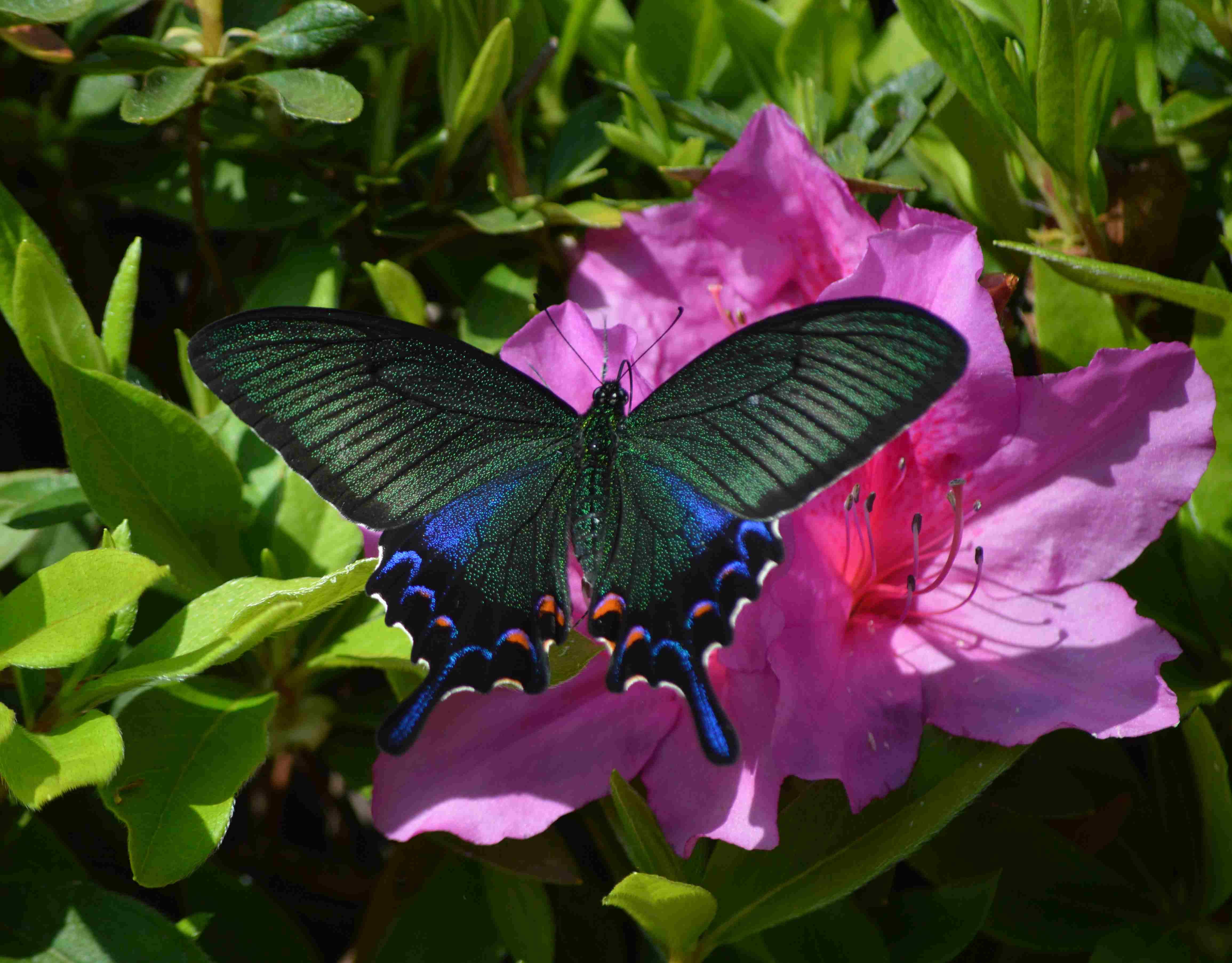 カラスアゲハ 5月2日ツツジの咲く公園にて_d0254540_19464161.jpg